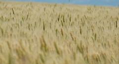 Endless (Goruna) Tags: summer sky plants field wheat border grain cereals endless wheatfield weizen weizenfeld wheatears weizenhren goruna