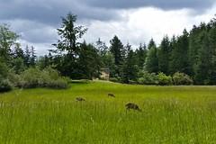 Field (Whistler Whatever) Tags: female forest woods wildlife watching doe deer wa orcasisland sanjuanislands