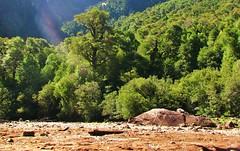 Parque nacional Alerce Andino,bosques,Chile (Gabriel mdp) Tags: chile parque patagonia naturaleza verde green nature landscape paz paisaje sur laguna reflexion nacional andino reserva contrastes treking bosques alerce tranquilidad triangulo indomita alerces