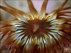 Southern Anemone (Phlyctenanthus australis) (Brian Mayes) Tags: canon underwater australia scuba diving anemone pipeline nelsonbay g16 1714 brianmayes southernanemone phlyctenanthusaustralis canong16