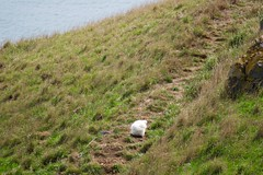 Royal Albatross Chick