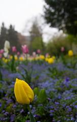 IMG_6063-Tulips (Reietto) Tags: bear sky panorama rose clouds swisse nuvole cloudy panoramas baren bern svizzera rosengarten stich orsi orso berna swizerland graben nubi barengraben tamronsp1750f28 giardinodellerose canoneos7d cristiancarbini16 bern2016