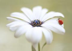 Osteospermum (ElenAndreeva) Tags: flowers light summer sun flower color macro cute nature colors canon bug insect spring amazing focus colorful soft sweet bokeh dream osteospermum ledybug