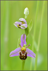 Bee Orchid (image 1 of 3) (Full Moon Images) Tags: plant orchid flower nature wildlife bcn reserve bee trust marsh wildflower woodwalton