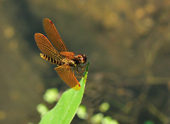 Eastern Amberwing (SouthWestDreams ) Tags: dragonfly gitzo easternamberwing tamron90macro