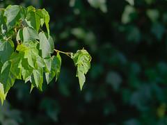 P6108638 (Paul Henegan) Tags: blur leaves maple afternoonlight