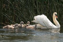 Swan Family (oandrews) Tags: england baby bird nature animal fauna canon outdoors swan unitedkingdom cygnet gb muteswan cygnusolor titchmarsh wildlifetrusts aldwincle juevenile canonuk canon70d 30dayswild