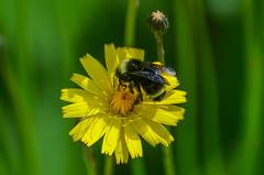 Vosnesensky Bumble Bee (ajblake05) Tags: canada britishcolumbia insects northamerica coquitlam lowermainland hymenoptera greatervancouver hexapoda apocrita apidae apinae bombusvosnesenskii bombini aculeata debovilleslough vosnesenskybumblebee
