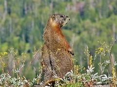 Marmot, Death Canyon Shelf, Grand Teton National Park (wldrns) Tags: hiking backpacking marmot wyoming grandtetonnationalpark tetoncresttrail deathcanyonshelf