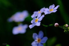 Myosotis (jpto_55) Tags: myosotis fleur macro bokeh xe1 bleu fuji fujifilm fujixf1855mmf284r omlens om50mmf2macro hautegaronne france