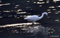 DSC_0001 (rachidH) Tags: nepal lake nature birds pokhara fewa phewa oiseaux egrets littleegret egrettagarzetta aigrettegarzette rachidh