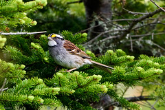 White-throated Sparrow, Northern Pond Road (frank.king2014) Tags: ca canada whitethroatedsparrow baybulls newfoundlandandlabrador