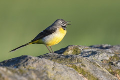Grey Wagtail (Tim Melling) Tags: grey wagtail male motacillacinerea pennines west yorkshire timmelling