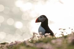 _MG_1746.jpg (helmutfaugel) Tags: schottland fairisle grosbritannien europa vogel 2016 shetland papageientaucher orte