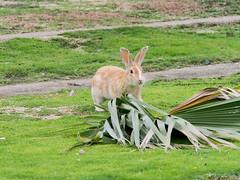 B6250653 (VANILLASKY0607) Tags: rabbit bunny bunnies nature animal japan photo wildlife wildanimal hydrangea rabbits rabbitisland wildrabbit okunoshima