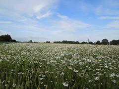 Margeritenmeer (conticium) Tags: field juni dorf sommer urlaub feld wiese haus land marguerite wald garten spaziergang privat 2016 nachbarschaft margeriten verein sachsenanhalt marschhufendorf