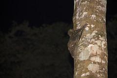 IMG_5851-0(W) Sunda flying lemur (Galeopterus variegatus) (Vince_Adam Photography) Tags: animals fauna flying wildlife malaysia gliding mammals treehugging binatang mamalia malayancolugo malayanflyinglemur galeopterusvariegatus sundaflyinglemur sundacolugo wildlifeofmalaysia