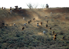 I am ..... (It Feels Like Rain) Tags: ranch texas cattle cows westtexas ranching ranches texasranches