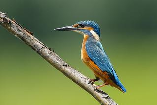 Alcedo atthis - Martin pescatore - Kingfisher - ♂