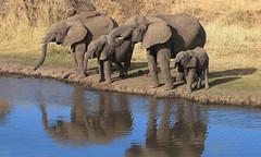World Elephant Day - 12 August 2016 (AnyMotion) Tags: africanelephant afrikanischerelefant loxodontaafricana elephants elefanten family familie drinking trinkend 2006 anymotion tarangireriver tarangirenationalpark tanzania tansania africa afrika travel reisen animal animals tiere nature natur wildlife 20d canoneos20d ngc npc