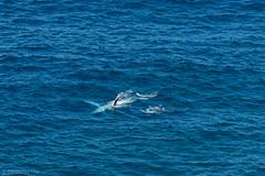 Not Drowning, Waving! (cmayart88) Tags: trip blue sea baby water swimming back australia sealife whale humpback calf byronbay mamal finwave