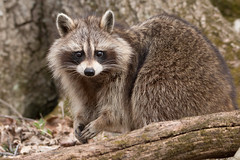 Raccoon - making eye contact - 0755 (NicoleW0000) Tags: raccoon close up wild wildlife nature photography ontario canada