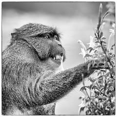 DSC_1836-Edit-1 (craigchaddock) Tags: swampmonkey allensswampmonkey allenopithecusnigroviridis sandiegozoo monkey blackandwhite monochrome bw