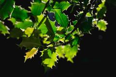 Holly Days II (NVOXVII) Tags: holly plant green constrast closeup nikon light summer nature sharp outdoor shadow luminosity