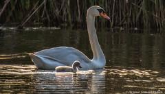 Swan lake -  Swan and Cygnet (digithief) Tags: muteswan cygnet d750 markham nikon swanlake ontario canada ca