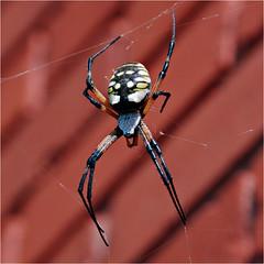 Argiope aurantia, Jean State Bank, Jean, Texas (Small Creatures) Tags: argiopeaurantia spider texas youngcounty jeantexas gardenspider nikond40 orbweaver rural