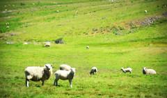 As ovelhas (Eduardo Amorim) Tags: ovelha ovelhas cordeiro cordeiros oveja ovejas sheep mouton moutons pecore schafe cordero campo field champ pinheiromachado pampa campanha fronteirariograndedosul brazil brsil guardavelha brasil sudamrica sdamerika suramrica amricadosul southamerica amriquedusud americameridionale amricadelsur americadelsud eduardoamorim