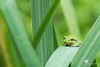 Croa (photosenvrac) Tags: macro rainette grenouille batracien sigma150 nature beaugency thierryduchamp