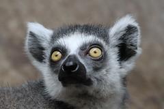 Old Yellow Eyes (praja38) Tags: lemur ringtailedlemur eyes caps torontozoo capricorn cap humour life wild wildlife nature yellow primate mammal