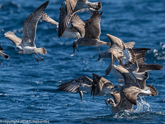 161009_rou_ver_0367.jpg (f.chabardes) Tags: france roussillon octobre golandleucophe charadriiformes cure 2016 4t navivoile ctevermeille laruscachinnans sortielpo yellowleggedgull oiseaux larinae larids animaux