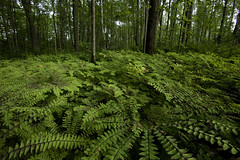 NCM10006-Upper Mississippi Forest Project (terracarbon) Tags: itascacounty minnesotaforests natureconservancy upmblandin basswood birch deciduousforest deciduoustrees hardwoodforest maidenhairfern maple northernhardwoodforest oak summerforest treepatterns treetrunks neargrandrapids minnesota usa