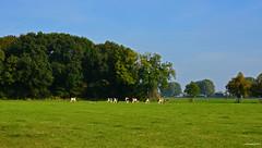Dutch Landscape (JaapCom) Tags: jaapcom landscape landed fee animals natural naturel dutchnetherlands hollanda