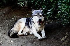 Wolf ذئب (محمد بوحمد بومهدي) Tags: animal animals zoo nikon wolf wilde kuwait ذيب حديقة d810 نيكون الحيوان بوحمد buhamad ذئب أمحمد أمحمدبوحمد