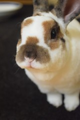 Remember, remember the Olaf of November! (Carly & Art) Tags: pet brown white cute rabbit bunny olaf soft rex houserabbit minirex