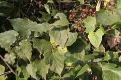 Liuzhou, Guangxi/ - Rubus sp./ 1892 (Petr Novk ()) Tags: china plant nature fruit asia wildlife asie   guangxi liuzhou rubus rosaceae    rostlina  na