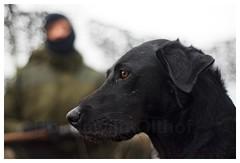 zwarte labrador. Jacht. (bo foto) Tags: fotografie natuur boudewijn honden jacht olthof jachthonden littledoglaughedstories