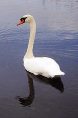Elegant Curve (Scott Sz) Tags: white lake reflection bird nature water neck swan aquatic elegant curve waterfowl
