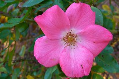 Rosa (Ana_1965_2010) Tags: pink roses naturaleza plant flores flower planta nature fleur rose garden flor jardin rosa natura rosen blume fiore rosas garten rosada rosedal giardino rosado