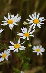 Anthemis cotula. Stinking Chamomile. (All Botanical Photography) Tags: asteraceae compositae anthemiscotula stinkingchamomile