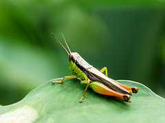 Grasshopper (New Britain) (David Cook Wildlife Photography) Tags: grasshopper papuanewguinea newbritain kookr davidcookwildlifephotography sonysal300f28g2 sonya77mkii sonyilca77m2 2014davidcookwildlifephotographyallrightsreserved