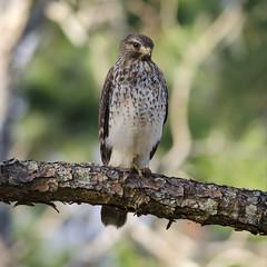 Watchful Eye (PeterBrannon) Tags: bird nature florida hawk wildlife raptor canopy juvenile birdofprey redshoulderedhawk buteolineatus zephyrhills pascocounty brownhawk rsha