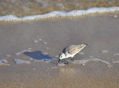 DSC_2710-Western Sandpiper (orientalizing) Tags: statepark usa birds animals coast florida shore whitesand stgeorgeisland apalachicola westernsandpiper