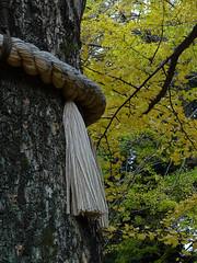 Autumn Comes to Akasaka's Hikawa Shrine (Rekishi no Tabi) Tags: autumn autumnfoliage japan tokyo shinto minatoku akasaka nationalgeographic sacredtree shintoshrines akasakahikawajinja akasakahikawashrine