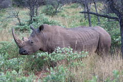 Scuffed Rhino (The_Green_Ninja) Tags: africa white game azn drive plateau wildlife safari rhino namibia exodus waterberg