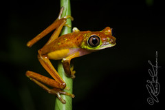 Agalychnis lemur (Rob Schell Photography) Tags: rainforest costarica nocturnal amphibian frog perched treefrog centralamerica arboreal guayacan anura hylidae anuran toepad crarc iucncriticallyendangered lemurleaffrog agalychnislemur costaricanamphibianresearchcenter limonprovence