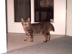 """Katze """"Stummelchen"""" , NGID628484222 (naturgucker.de) Tags: naturguckerde cmanfredweinhold ngid628484222 gronaulhausgarten hauskatzefelisdomesticat"""